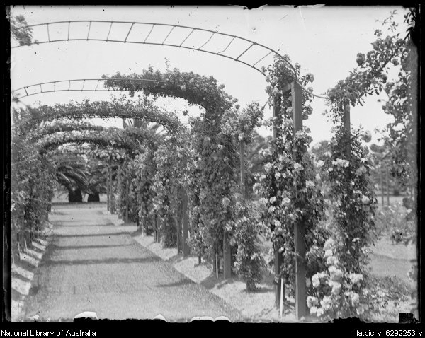National Library of Australia, Flowering arched avenue in Centennial Park 21 Jul 1929