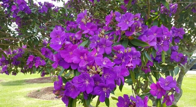 tibouchina, purple glory