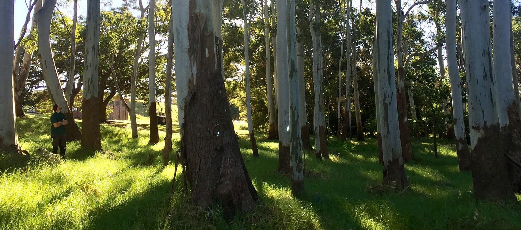 Paperbark, centennial park