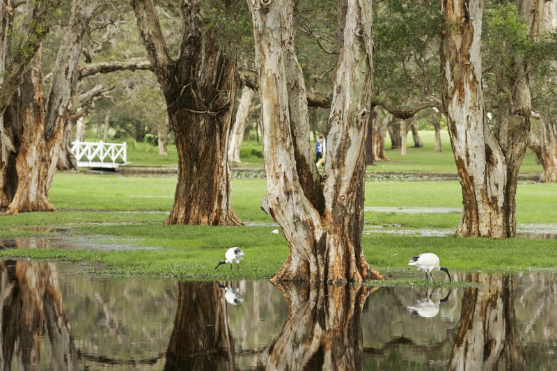 Ibis in water around Paperbarks in Centennial Park