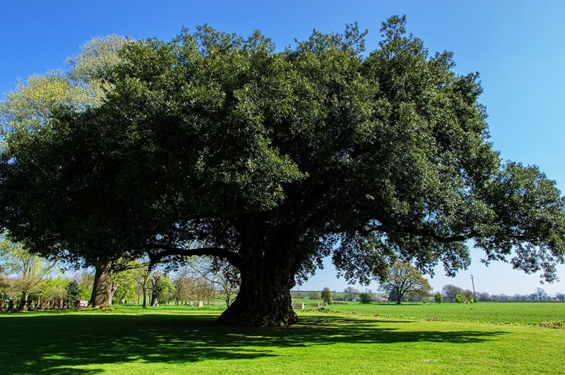 Quercus ilex Holm Oak Roy Dale 450 years old.jpg
