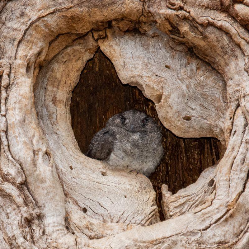 Australian Owlet-nightjar (Aegotheles cristatus)