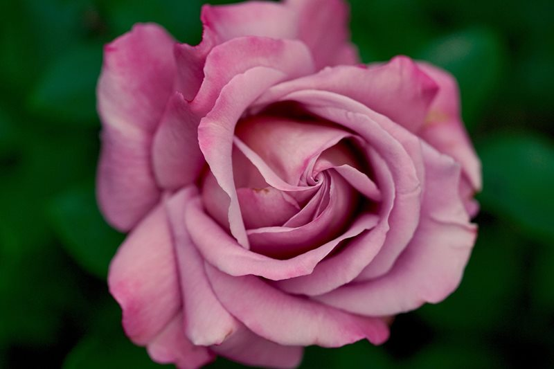 roses centennial parklands