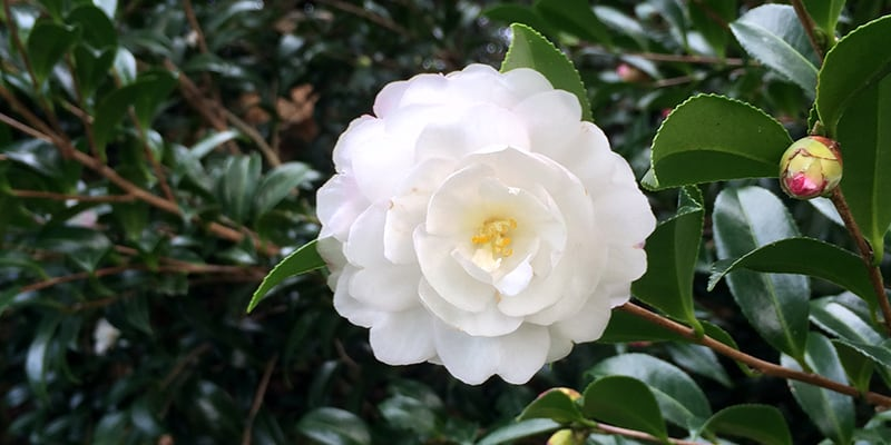 camellia, centennial park