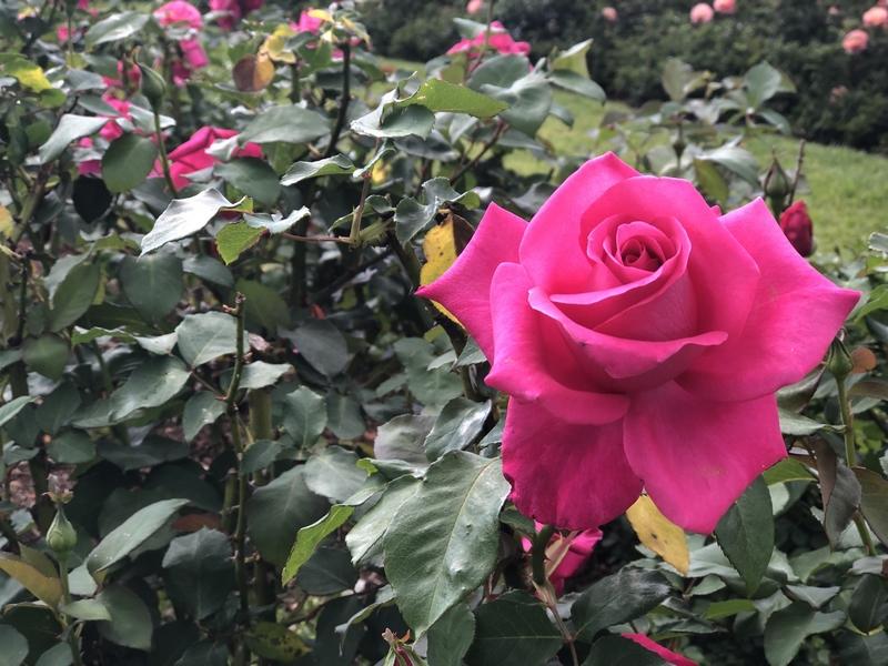 Rose in Centennial Park Sydney