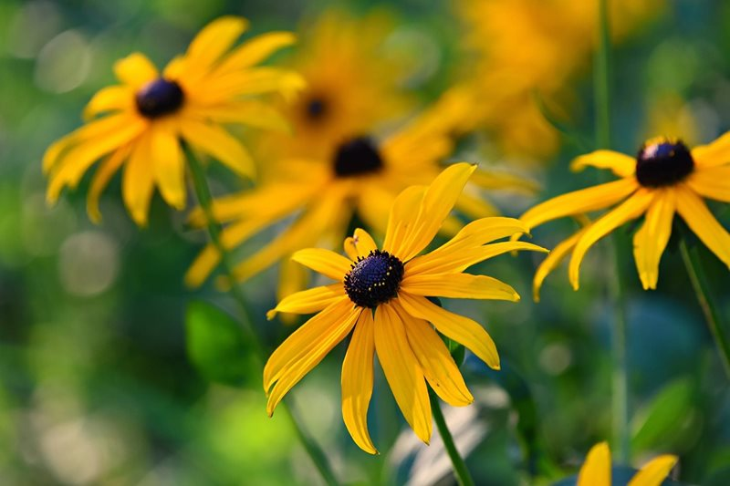 Goldstrum Rudbeckia.jpg