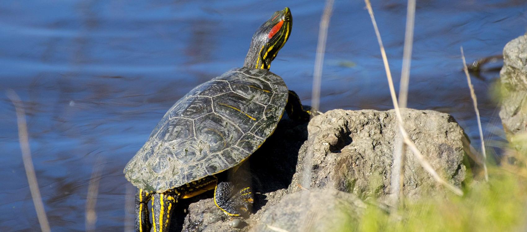 Stories Red Eared Turtle Centennial Parklands