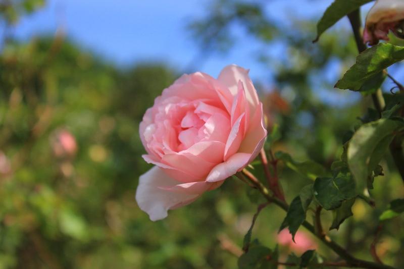 rose garden, centennial park