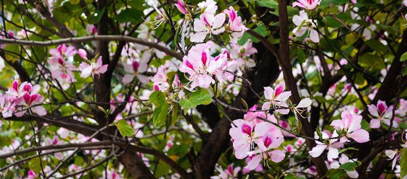Bauhinia variegata orchid tree 1700 .jpg