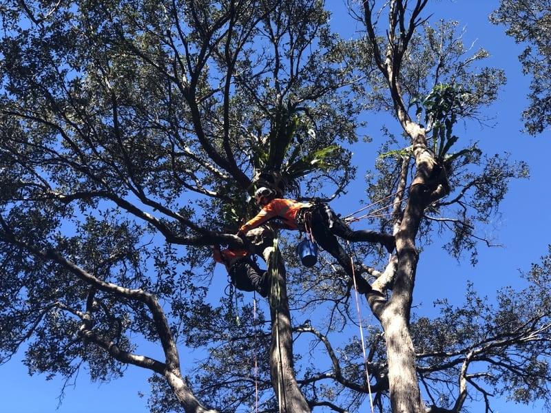 Strangler fig experiment, Centennial Park