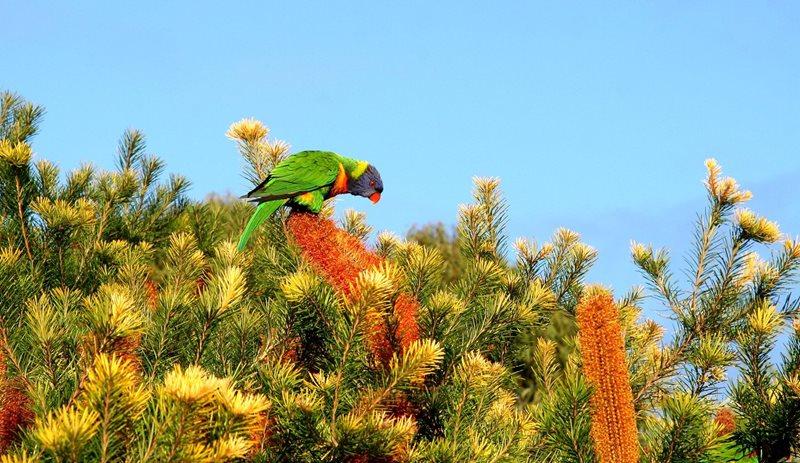 A rainbow lorikeet feeding on banksia flowers