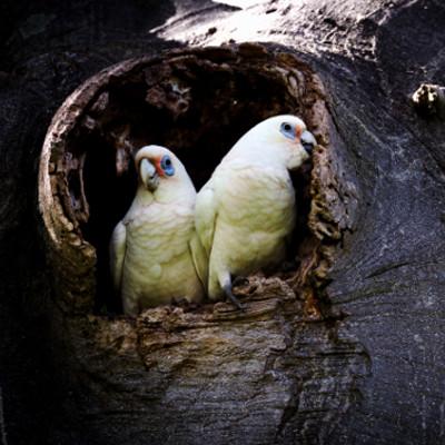 Corellas in a tree hollow