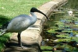 Ibis in Centennial Park