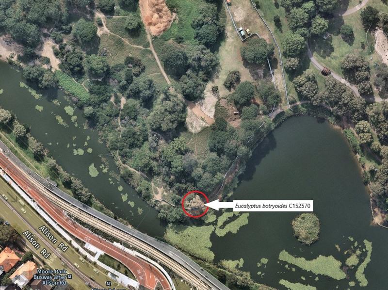 Eucalyptus botryoides tree at Kensington Pond, Centennial Park