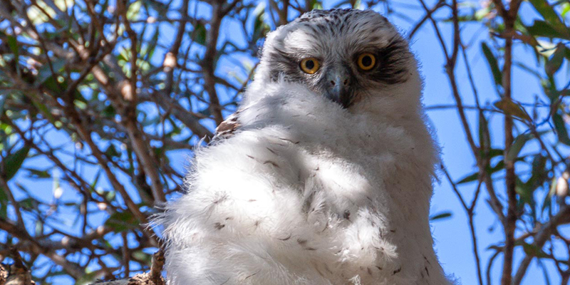 powerful owl, sydney, wildlife, centennial park