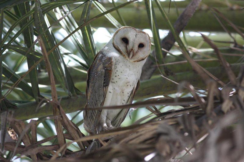 centennial park, sydney, barn owl