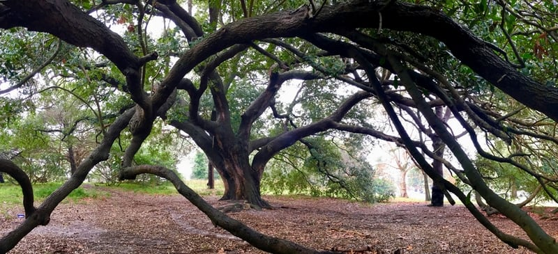 Quercus virginiana, Southern live oak