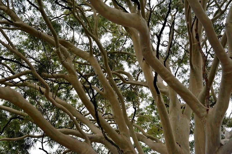 15.	Corymbia citriodora Lemon Scented Gum