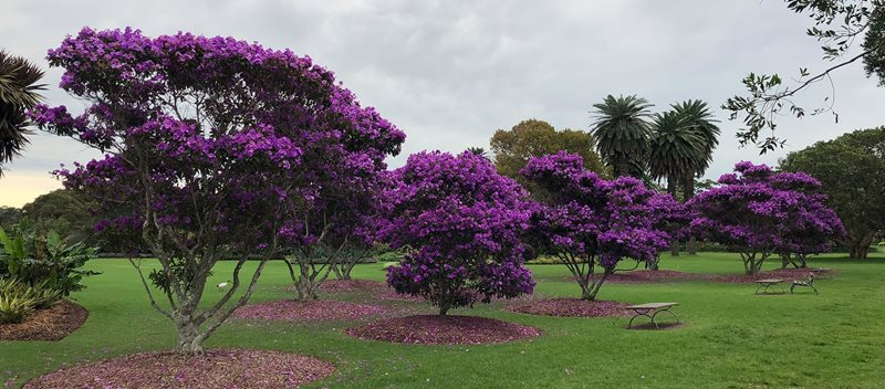 tibouchina, purple glory, centennial park