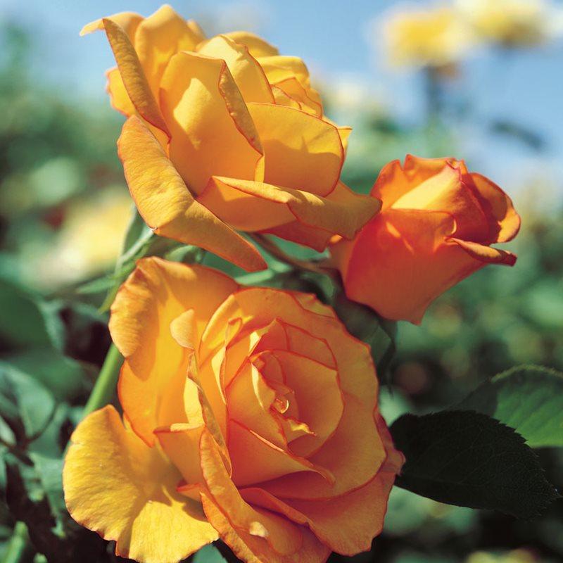 sundance flower, yellow flower, rose, centennial park, sydney, rose garden