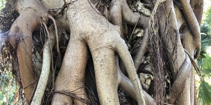 Strangler fig roots