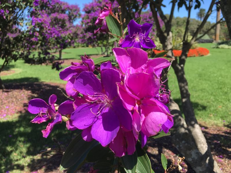 tibouchina, purple glory, sydney, centennial parklands